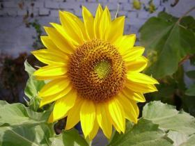 sunflower_4011.jpg